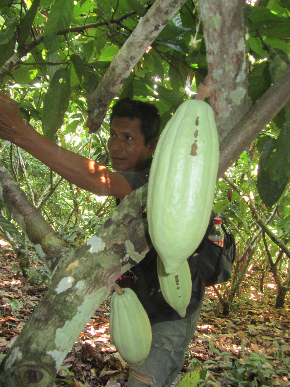 cacao farms in Peru | Amazon rainforest trips | chocolate making courses